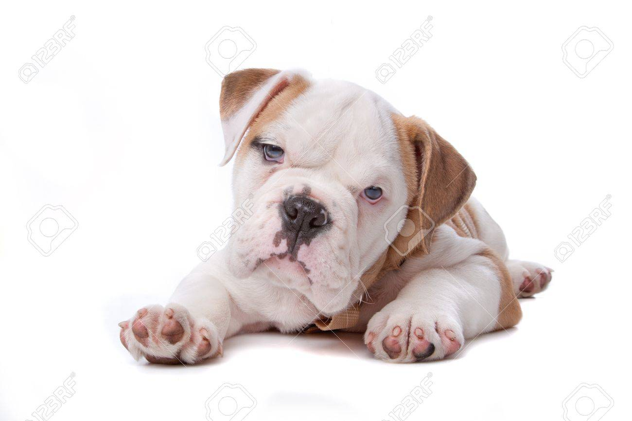 English Bulldog puppy lying down in front of white background Stock Photo - 8113995