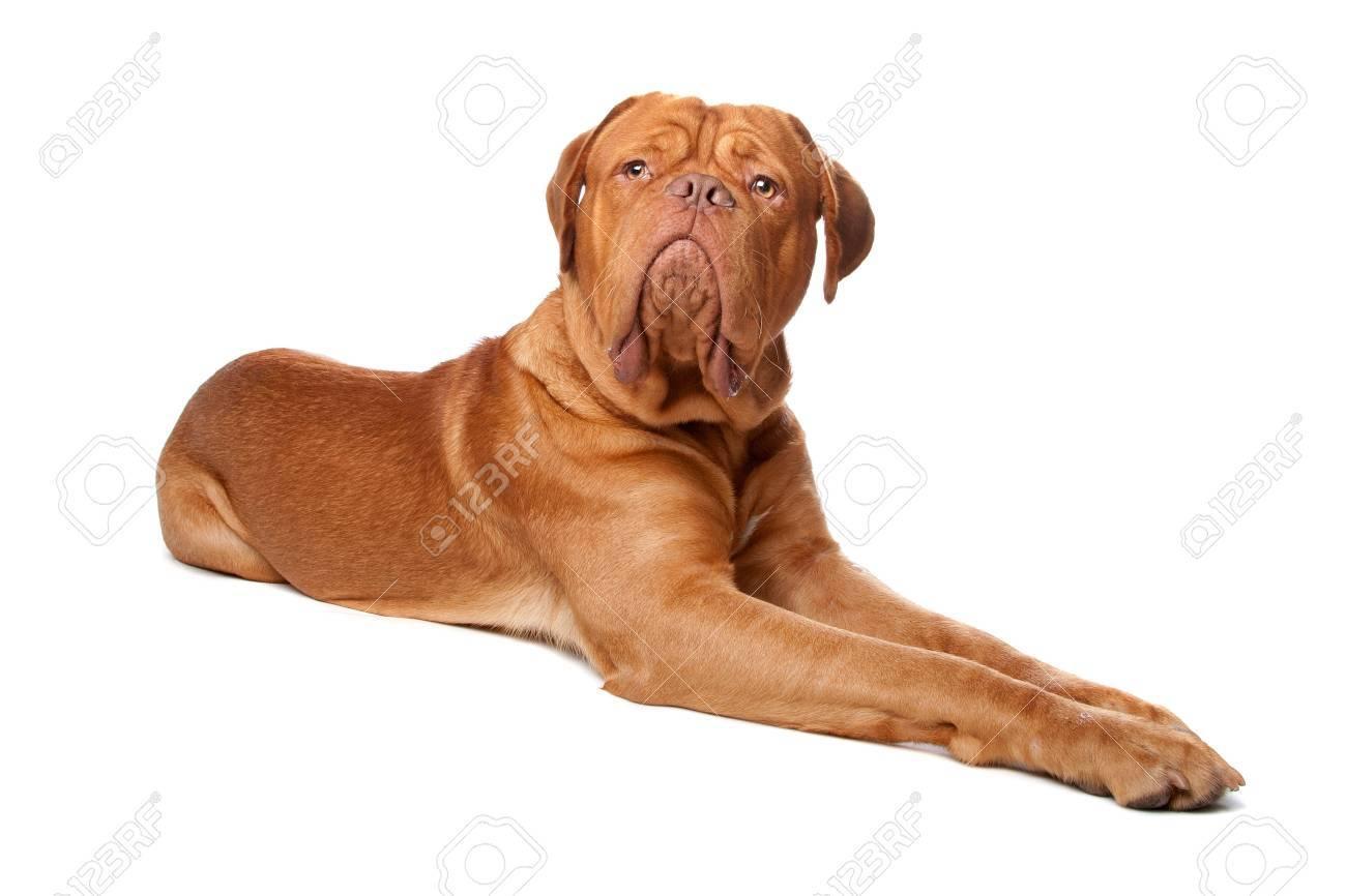 Dogue de Bordeaux (French mastiff). Isolated on white background Stock Photo - 8114043