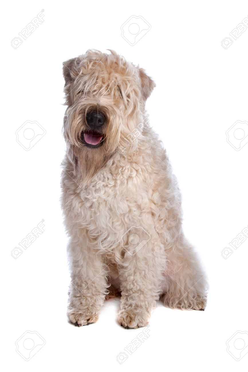 Soft Coated Wheaten Terrier Dog Lying, Isolated On A White ...