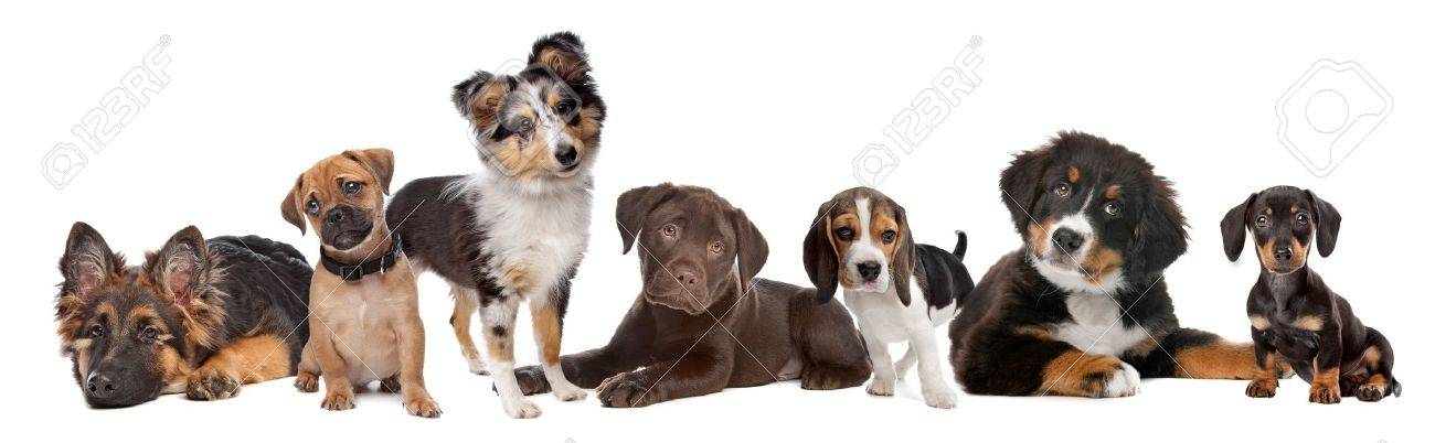 Large Group Of Puppies On A White Backgroundfrom Left To Rightgerman