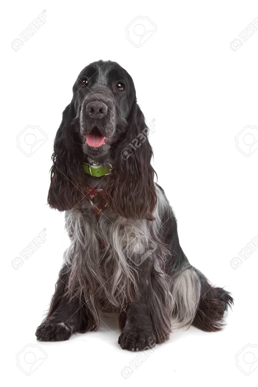 English Cocker Spaniel Dog In Front Of A White Background Stock
