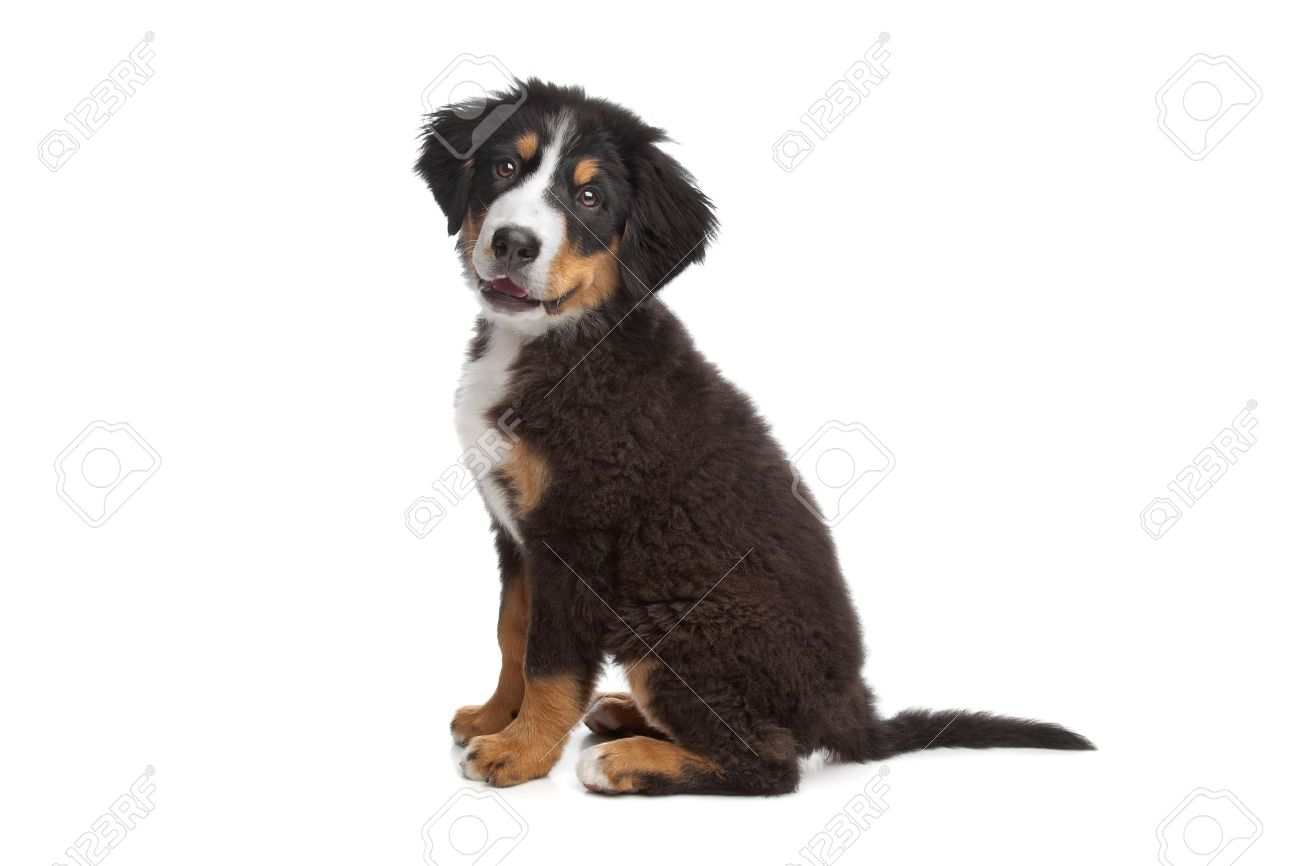 Bernese Mountain Dog puppy in front of a white background Stock Photo - 10254571