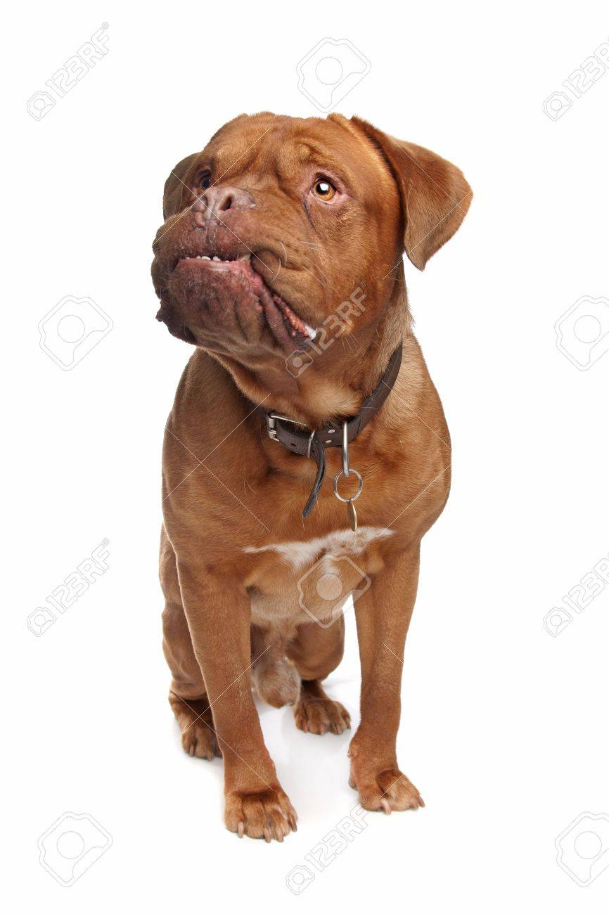French mastiff in front of a white background Stock Photo - 10299208
