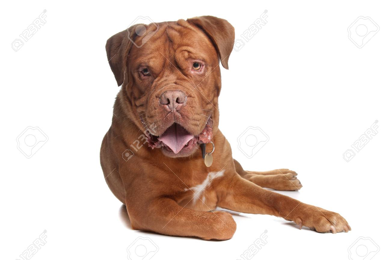 French mastiff in front of a white background Stock Photo - 10299137