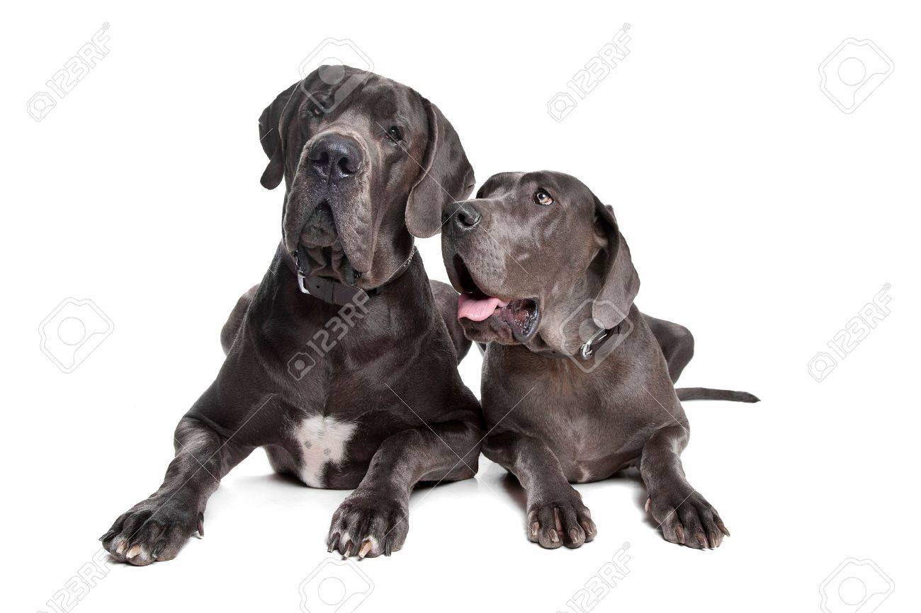 Two grey great Dane dogs on front of a white background Stock Photo - 10468269