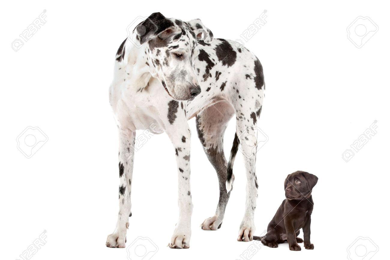 Deutsche dogge oder labrador