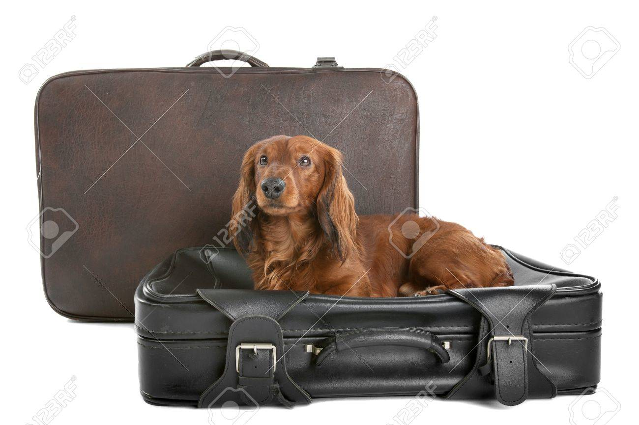 A delightful view of a small, naughty Dachshund dog on a black suitcase. Stock Photo - 10976879