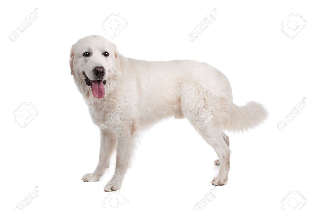 Polish Tatra Sheepdog In Front Of A White Background Stock Photo Picture And Royalty Free Image Image 11002009