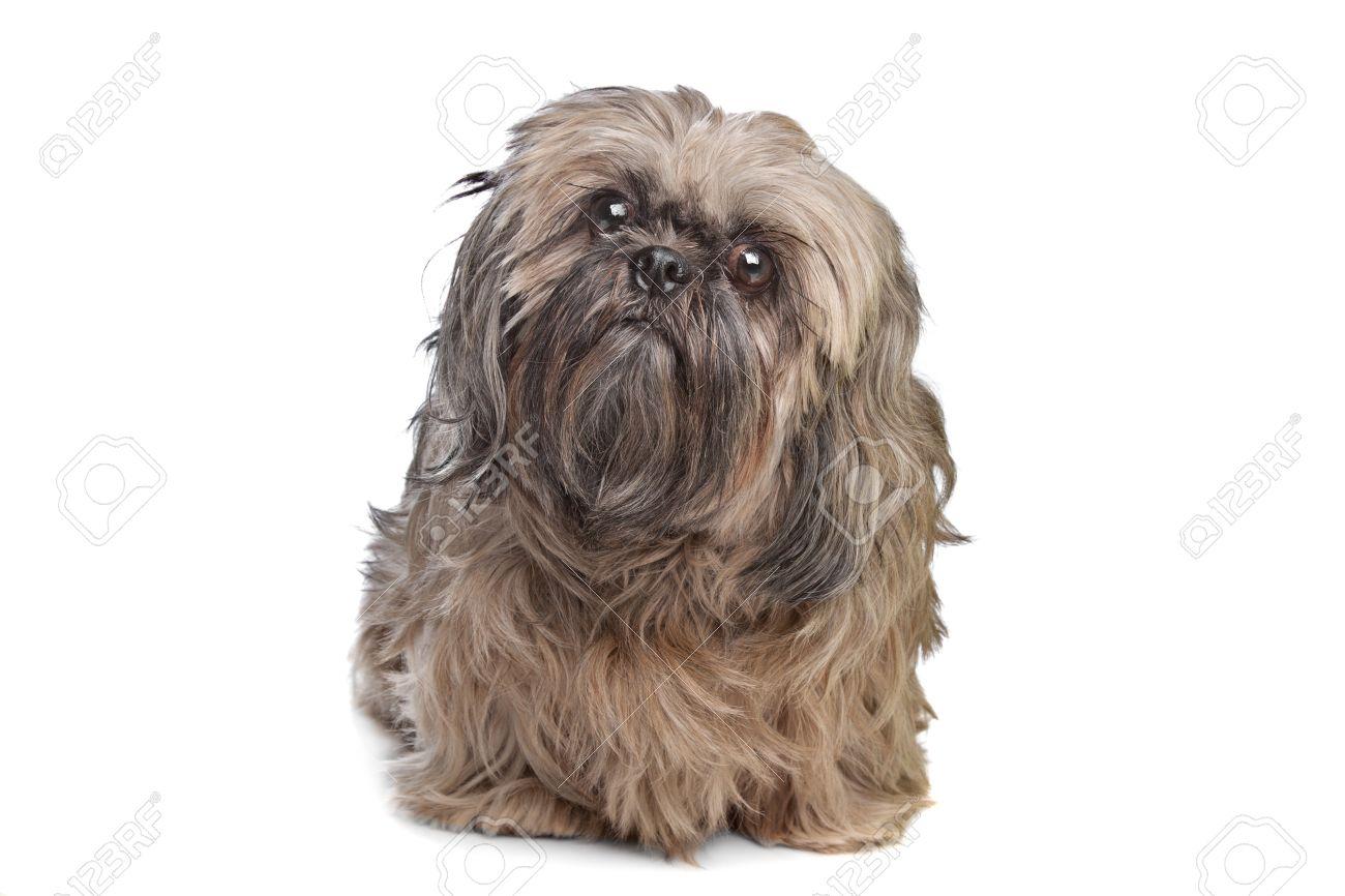 Brown Shih Tzu Hund Vor Einem Weißen Hintergrund Lizenzfreie Fotos