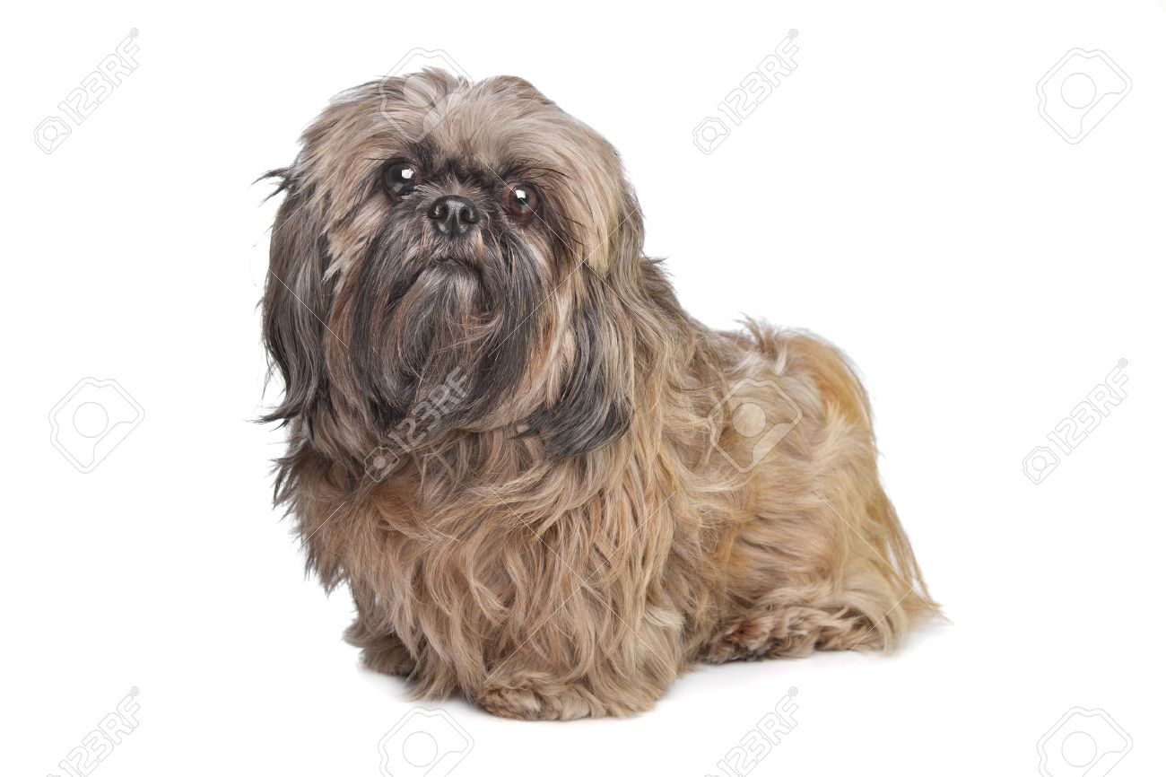 Brown Shih Tzu Dog In Front Of A White Background Stock Photo