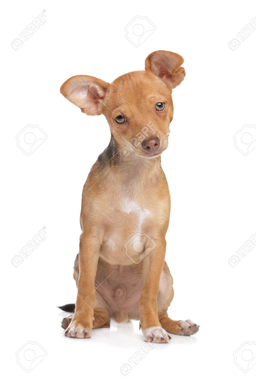 Mixed Breed Chihuahua And Miniature Pincher Dog In Front Of A