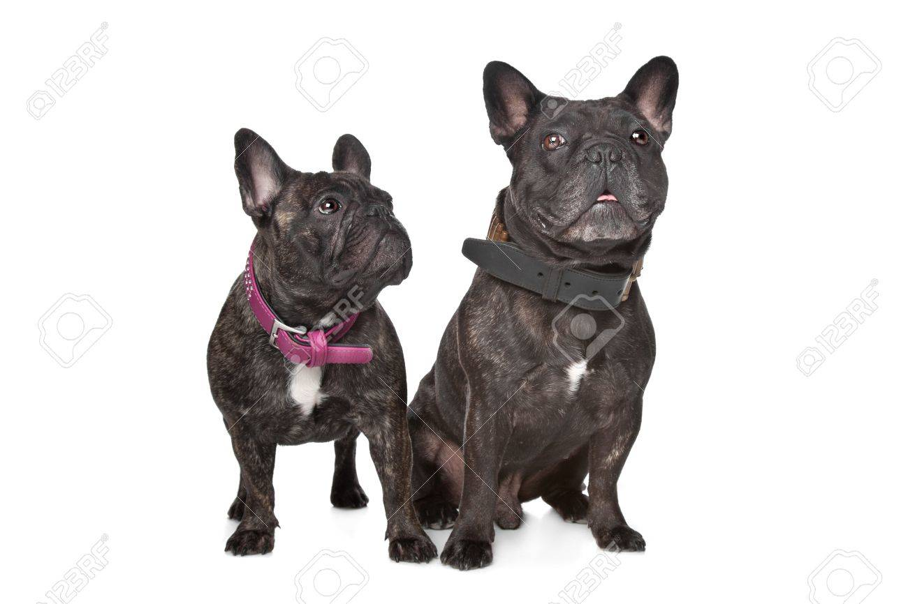 Two Dark Brown French Bulldogs In Front Of A White Background