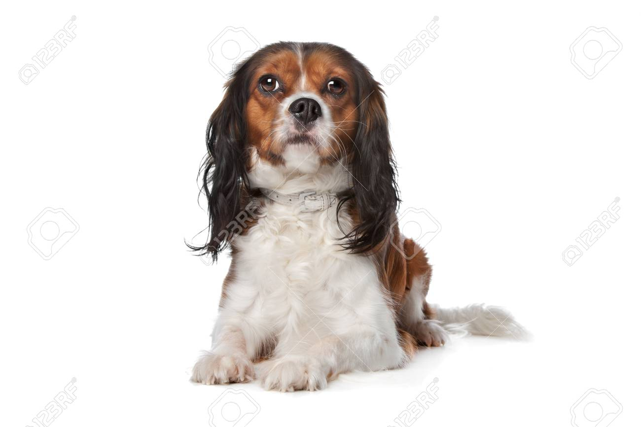 Cavalier King Charles spaniel in front of a white background Stock Photo - 12374947