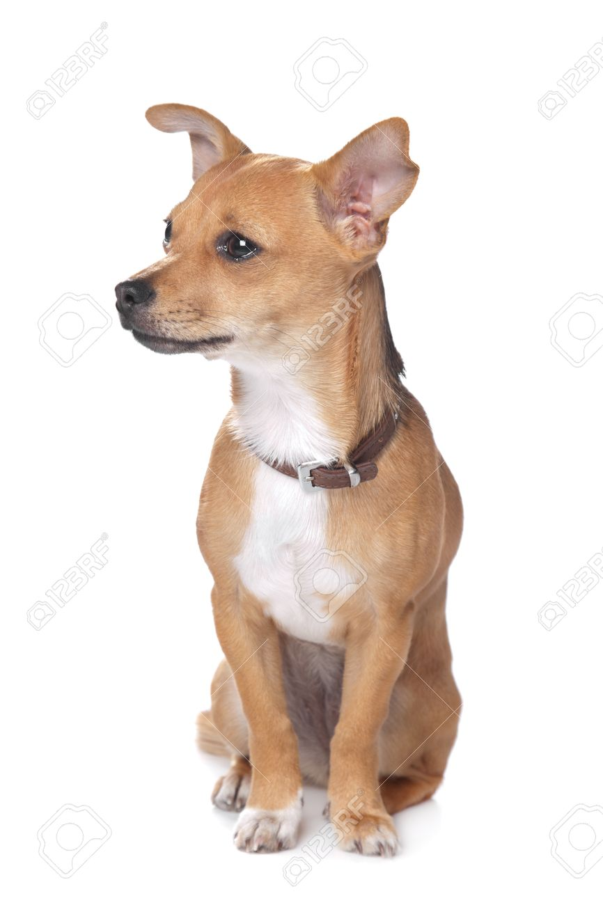 mixed breed dog chihuahua and pincher in front of a white background