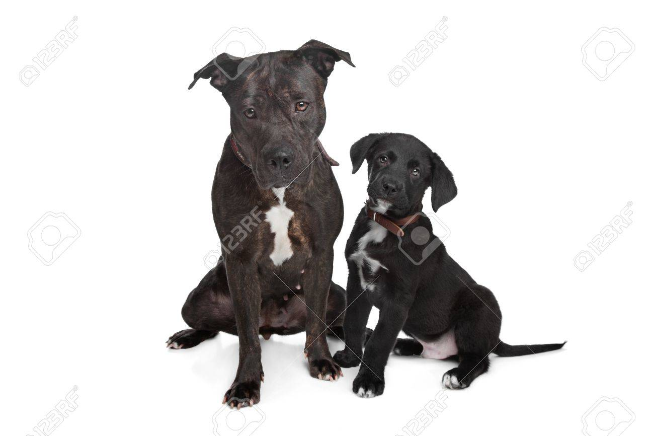 Two Dogs Left Mix Pitbullright Mixed Great Dane Rottweiler Stock