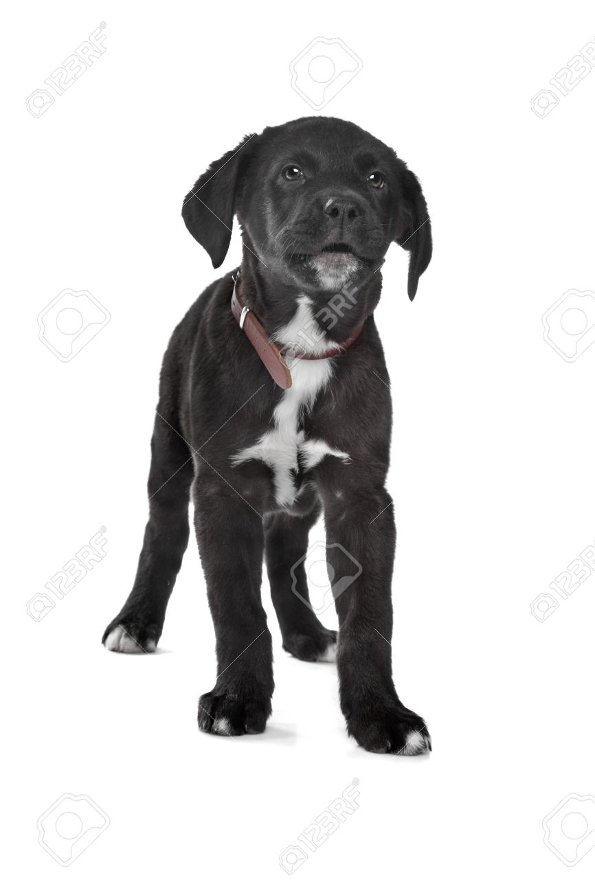 Mixed Breed Puppy Great Dane Rottweiler In Front Of A White