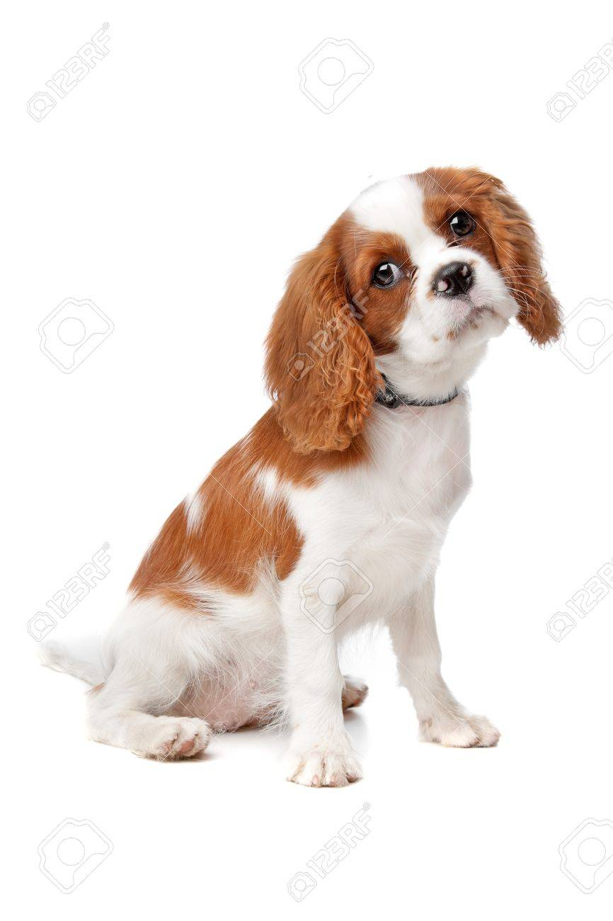 Cavalier King Charles Spaniel Puppy On A White Background Stock Photo Picture And Royalty Free Image Image 13228361