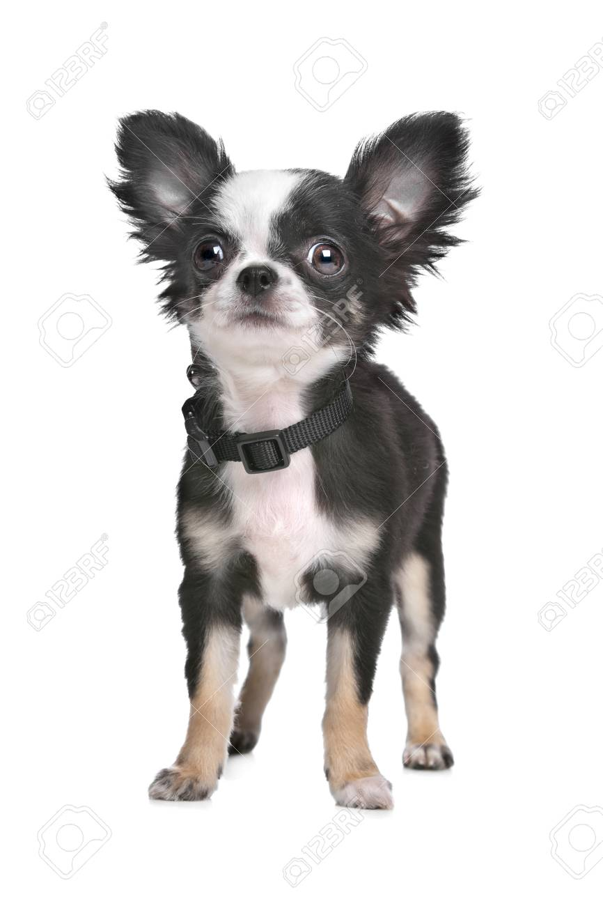 Immagini Stock Cucciolo Di Chihuahua Pelo Lungo Di Fronte A Uno