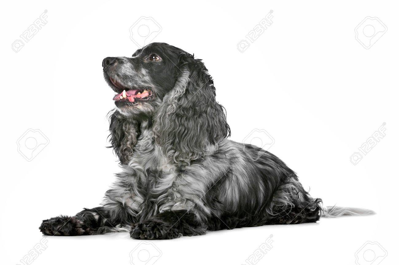 Stock Photo - blue roan cocker Black And White And Blue Backgrounds