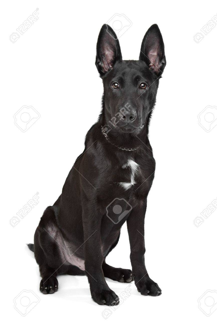 Black German Shepherd puppy in front of a white background Stock Photo - 13254765