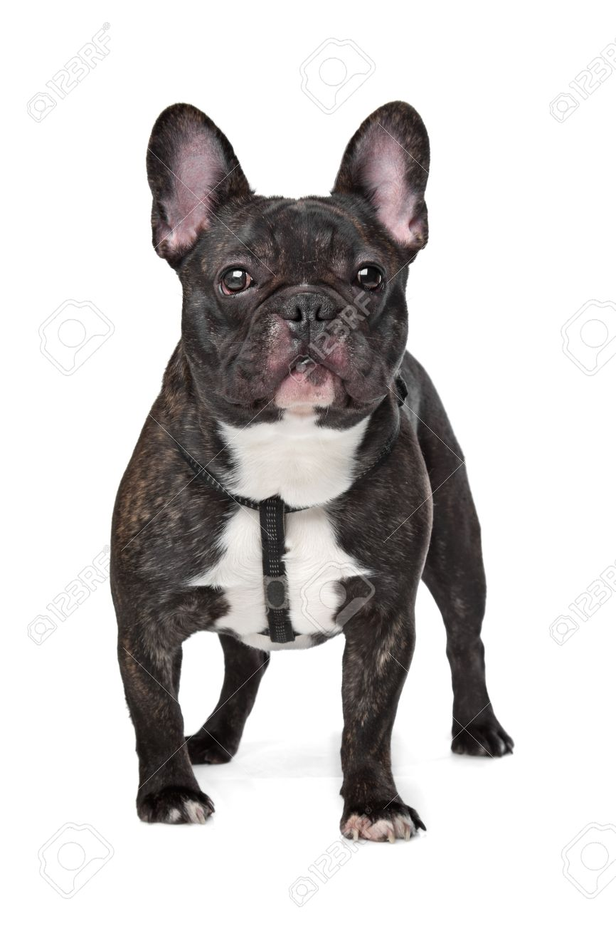 Black and White French Bulldog in front of white Stock Photo - 13254794
