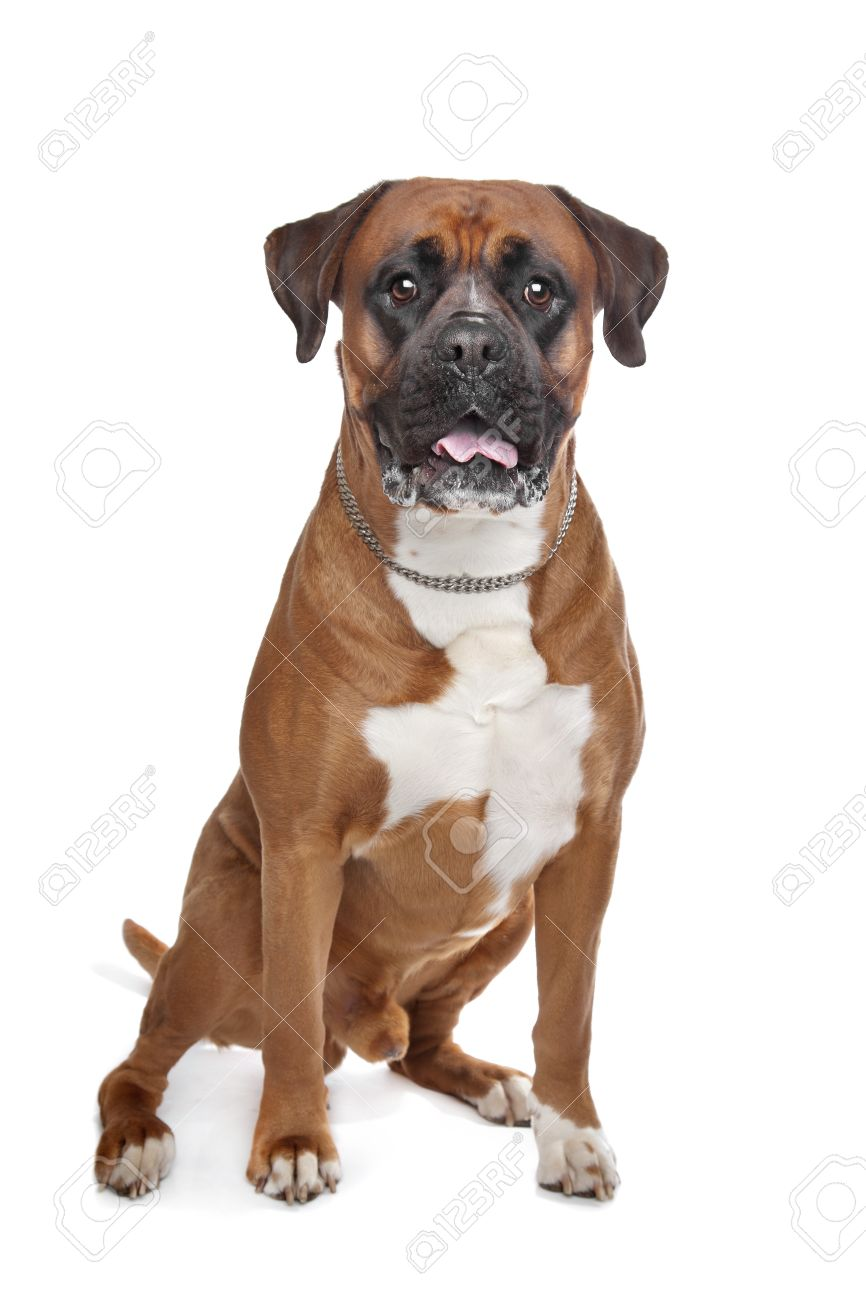 Boxer dog in front of a white background Stock Photo - 13256182