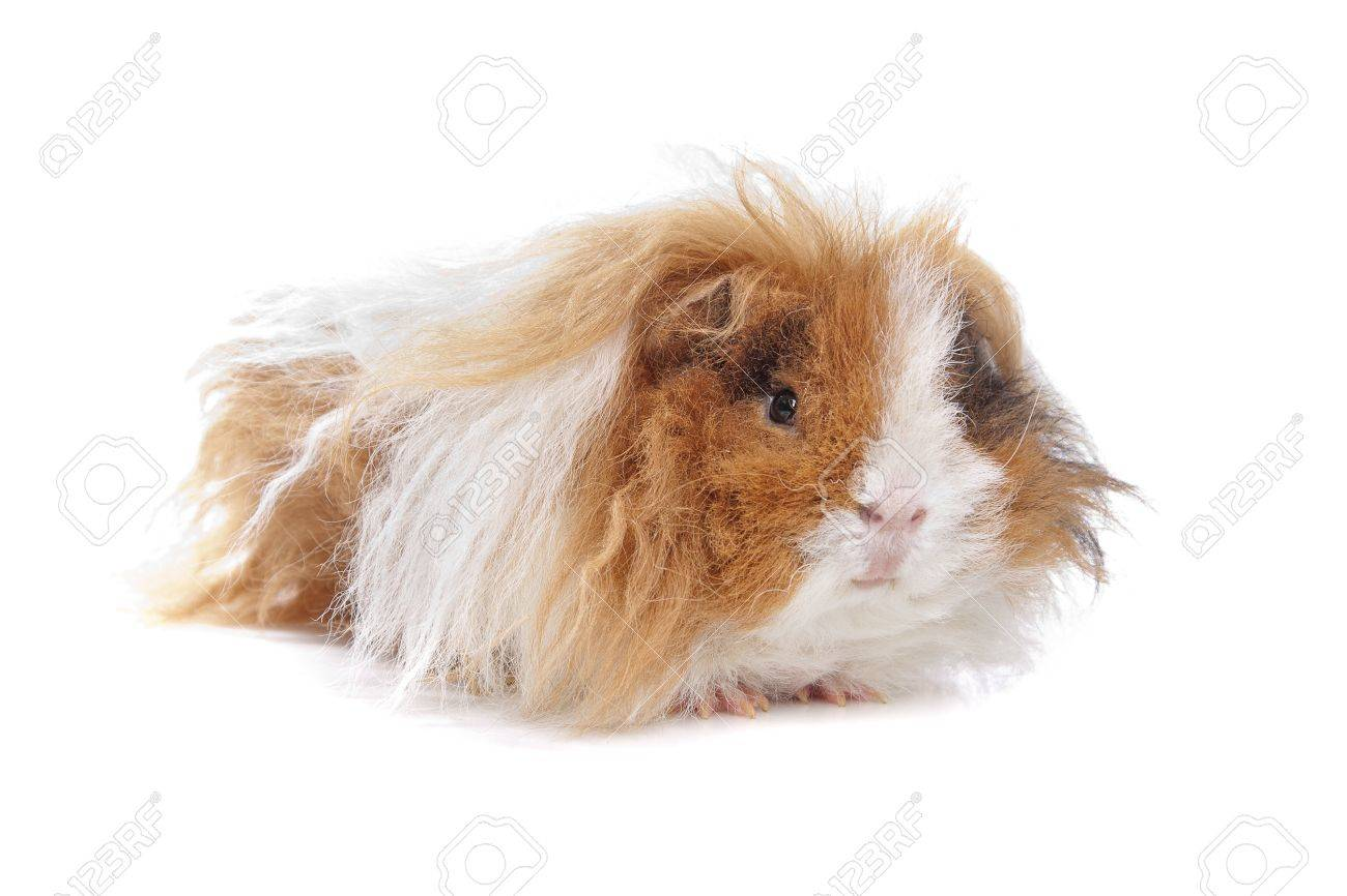 Long haired guinea pig in front of a white background stock photo long haired guinea pig in front of a white background stock photo 13298126 jeuxipadfo Gallery