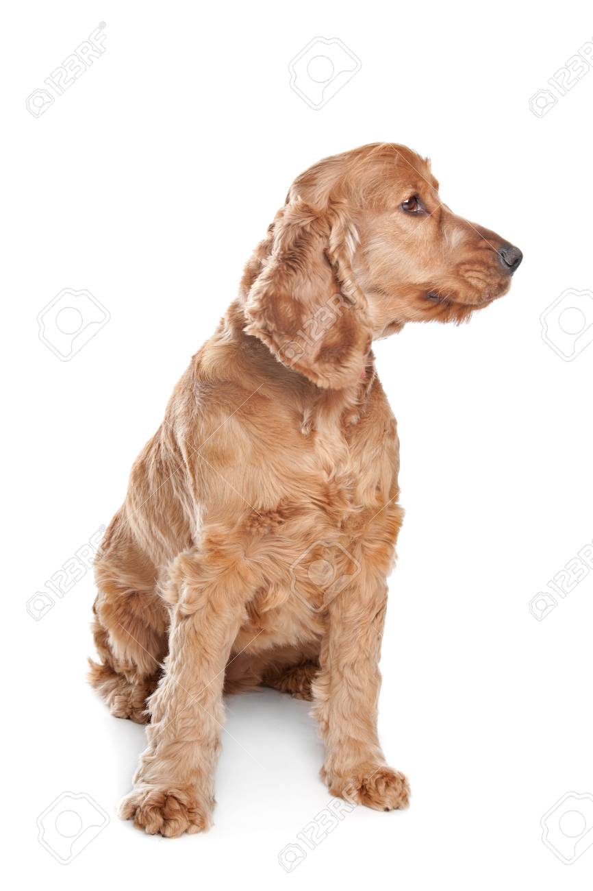 Brown cocker spaniel dog in front of a white background Stock Photo - 13407260