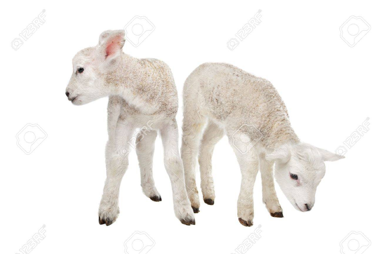 two little lambs in front of a white background stock photo