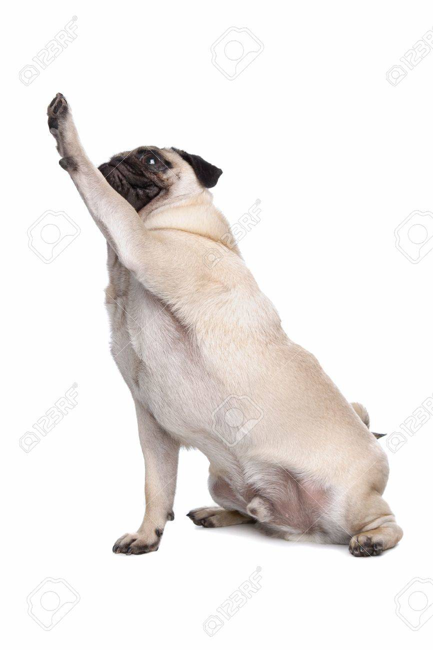 pug dog in front of a white background stock photo picture and