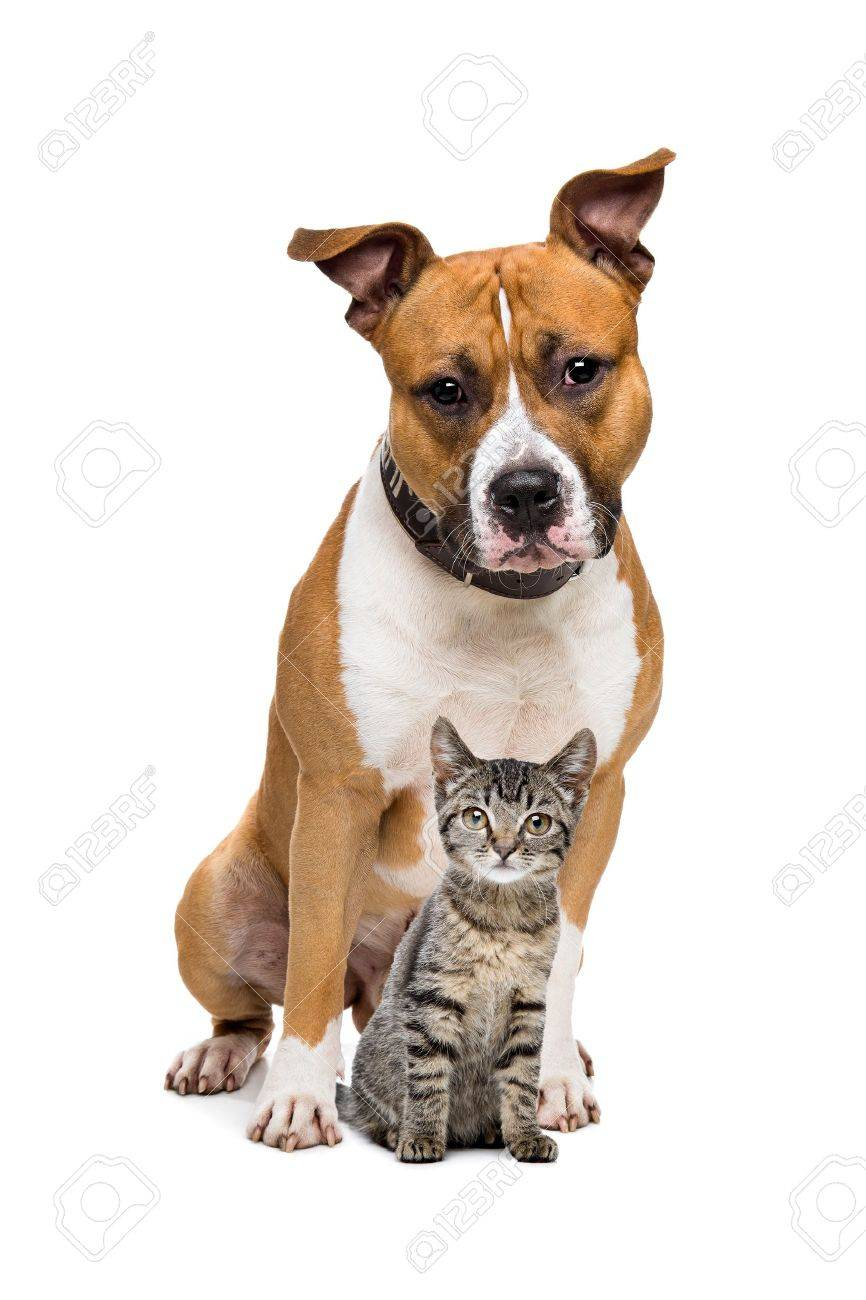 Dog And Kitten In Front A White Background Stock Picture