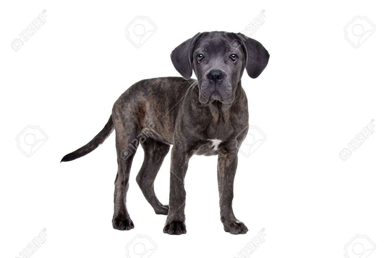 Grey Cane Corso Puppy Dog Standing In Front Of A White Background