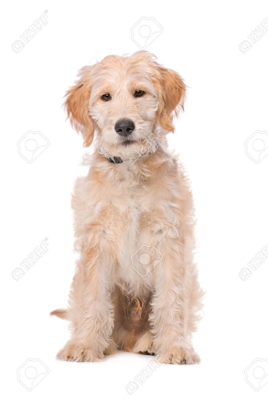 Beige Labradoodle Dog In Front Of A White Background Stock Photo ...