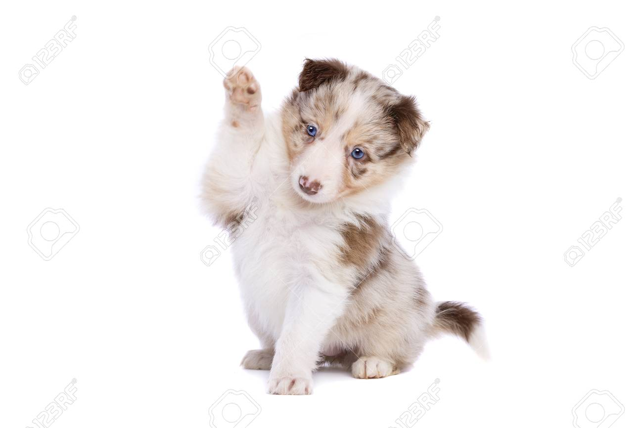 Red Merle Border Collie Puppy In Front Of A White Background Stock Photo Picture And Royalty Free Image Image 115733284