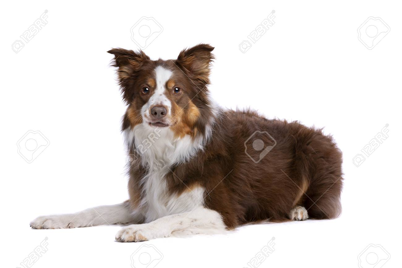 Tri Colour Border Collie Lying Down In Front Of A White Background Stock Photo Picture And Royalty Free Image Image 115733286