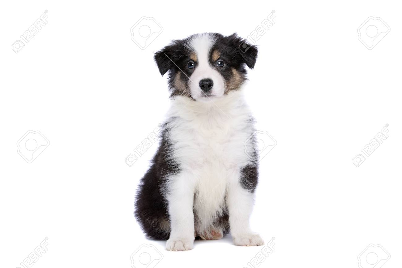 Border Collie Puppy In Front Of A White Background Stock Photo Picture And Royalty Free Image Image 115733291