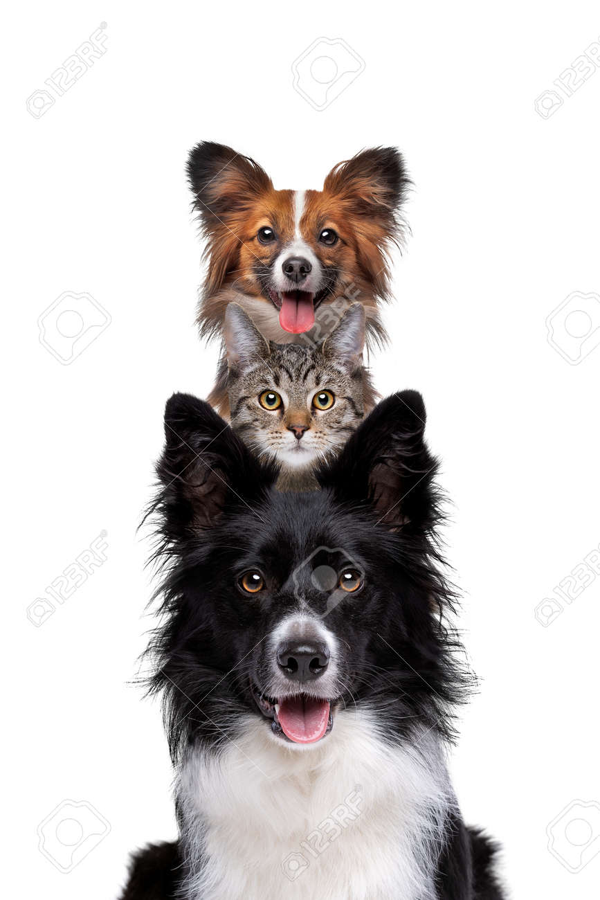 Portrait of two dogs and one cat piled up vertically isolated on a white background - 165731896