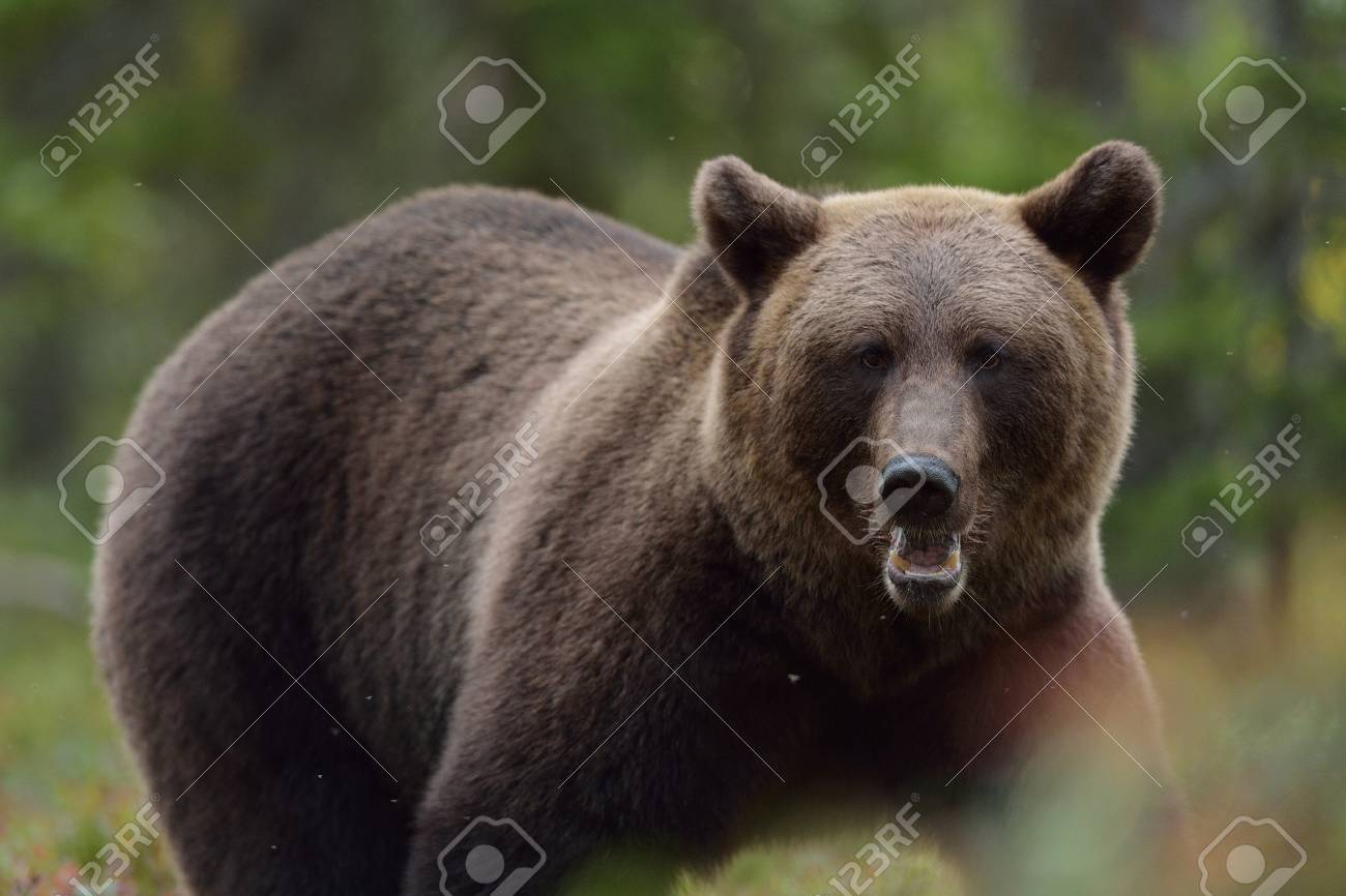Image D Ours Brun portrait d'ours brun dans la forêt à l'automne banque d'images et