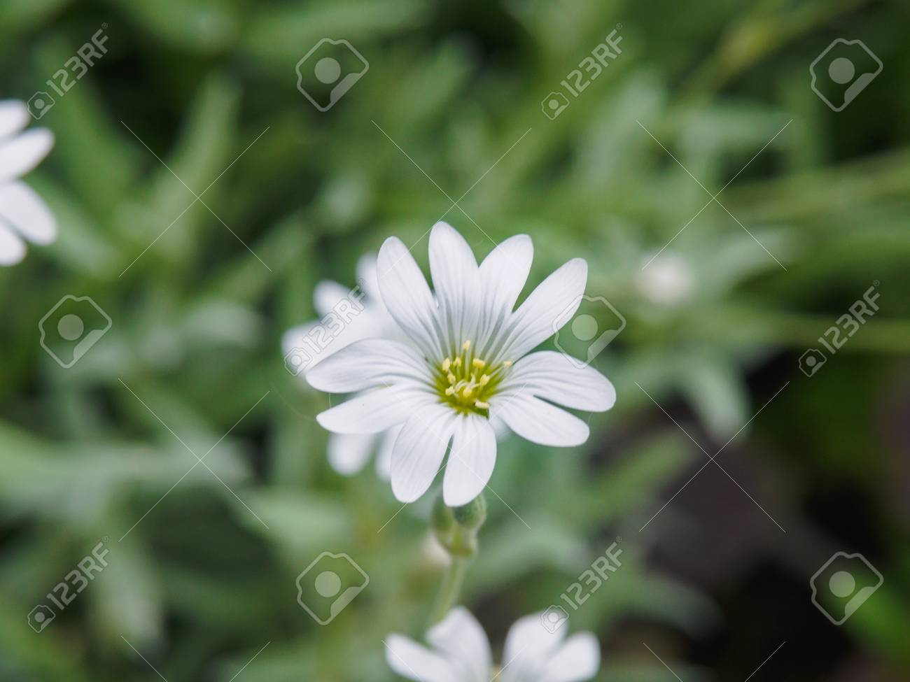 White Flower In Garden Small White Flowers Shooting With Soft