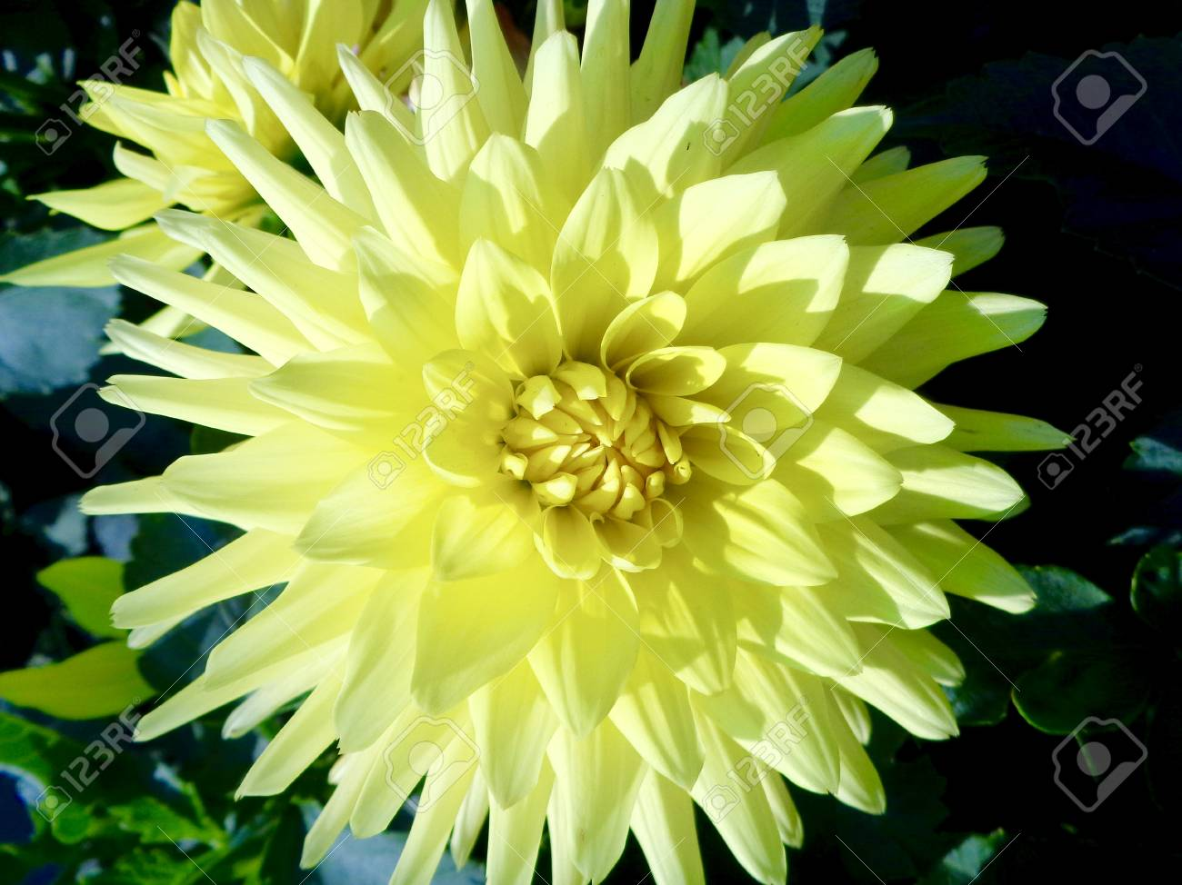 Yellow Dahlia Flower Stock Photo Picture And Royalty Free Image