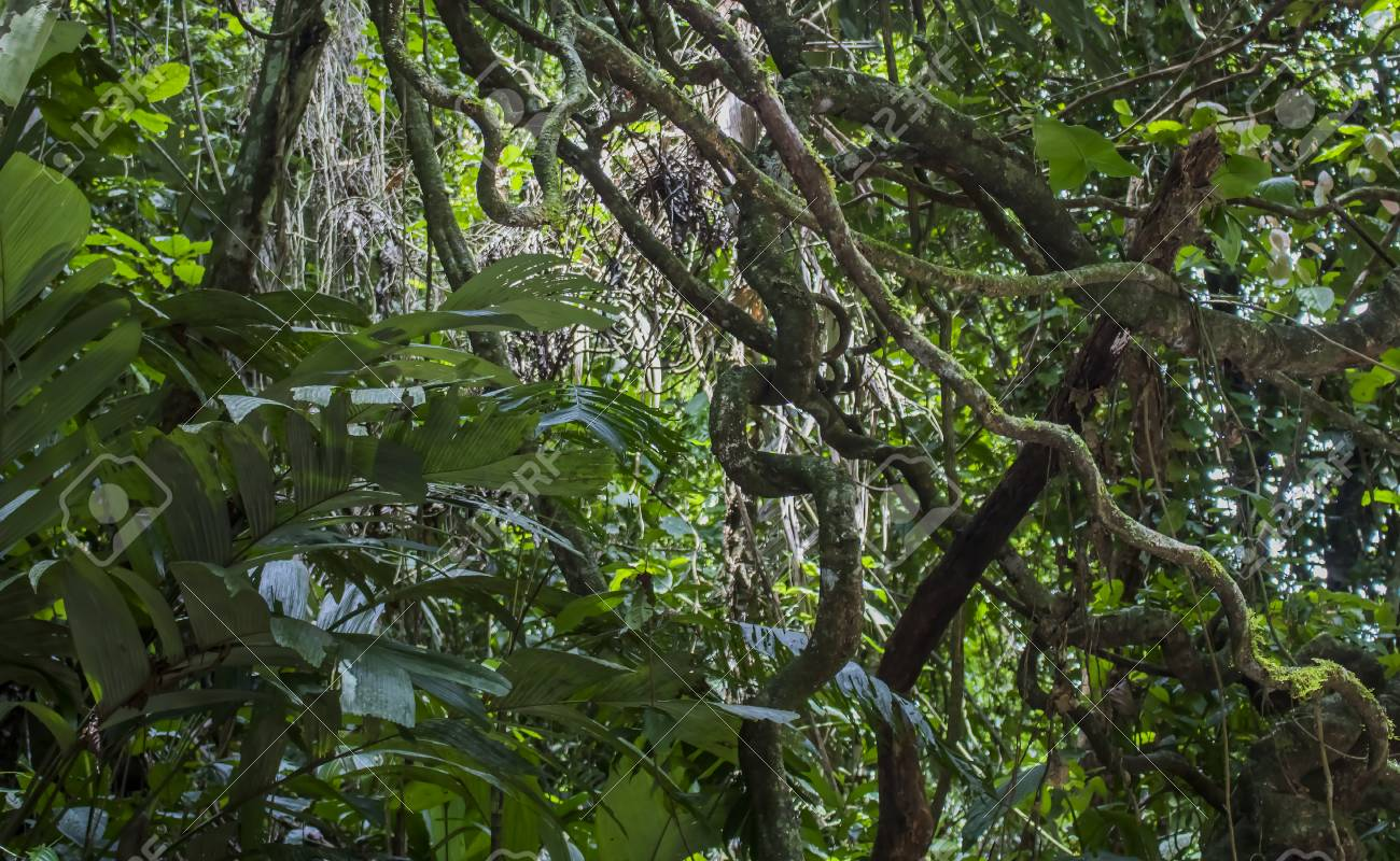 Background Of Thick Green Foliage And Tangled Jungle Vines Stock Photo Picture And Royalty Free Image Image 104965875