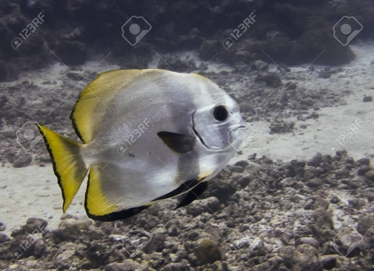 Circular spadefish or batfish close up profile underwater in