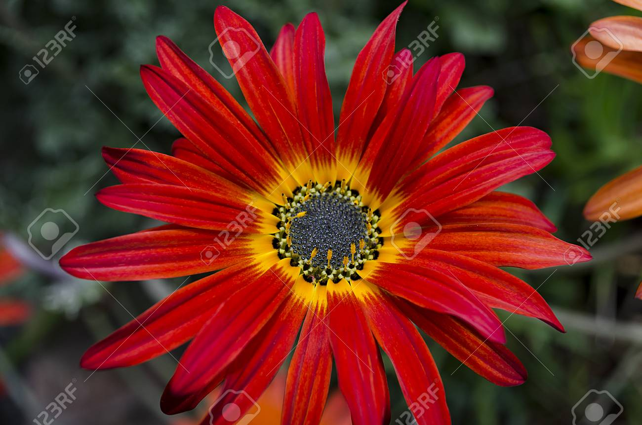 Red Flower With Yellow Center Stock Photo Picture And Royalty Free