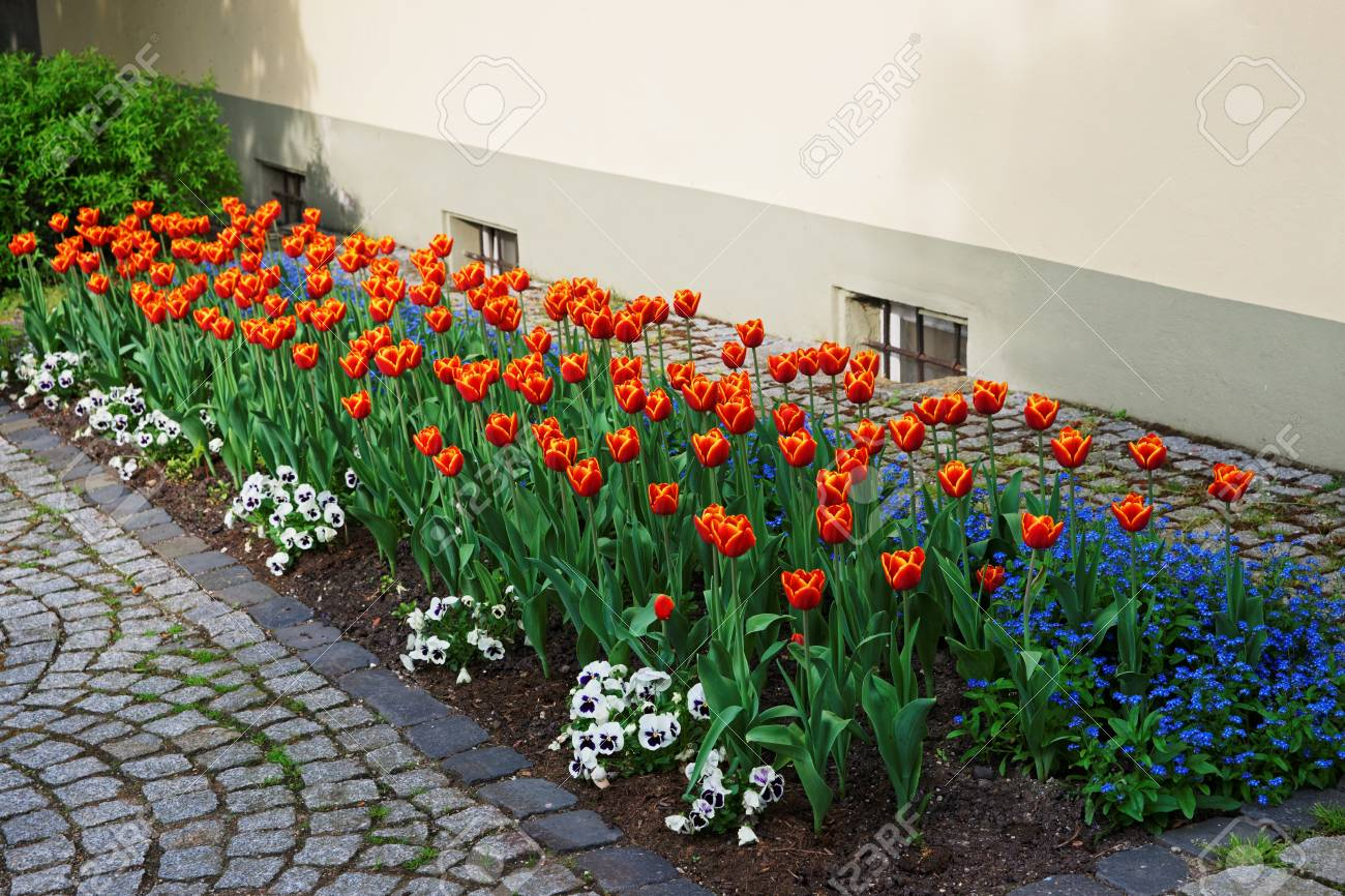 tulips and forget me not flowers in a garden in reichenau island..