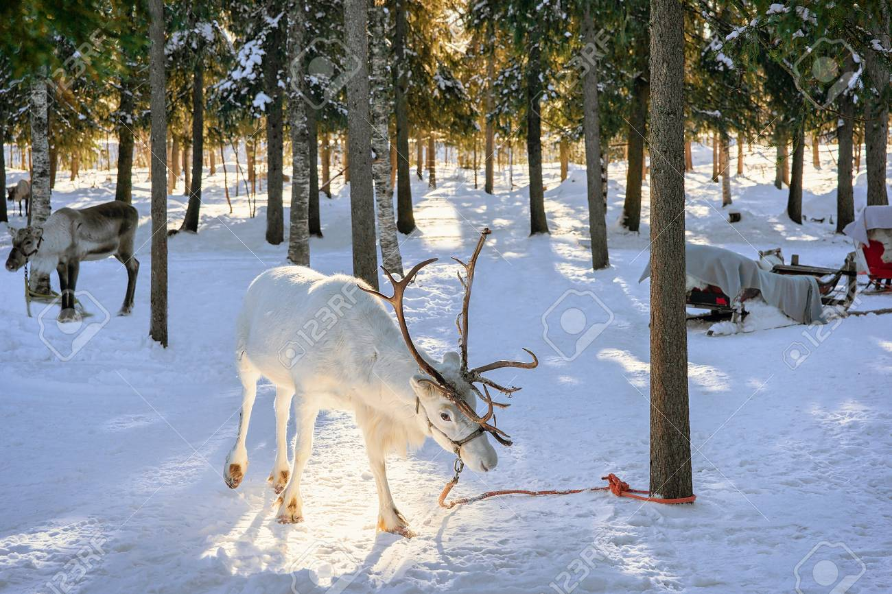 White Reindeer in winter farm at Rovaniemi, Lapland, Northern Finland - 83467713