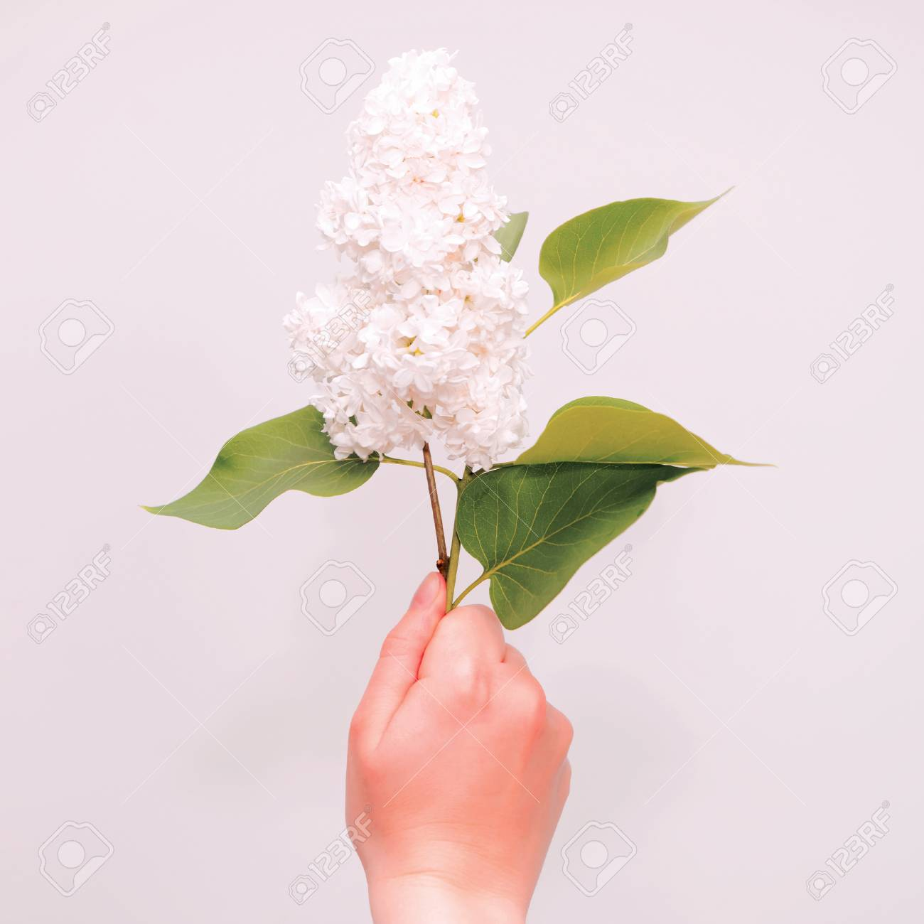Twig Of White Lilac Flowers On White Background Flat Lay Top