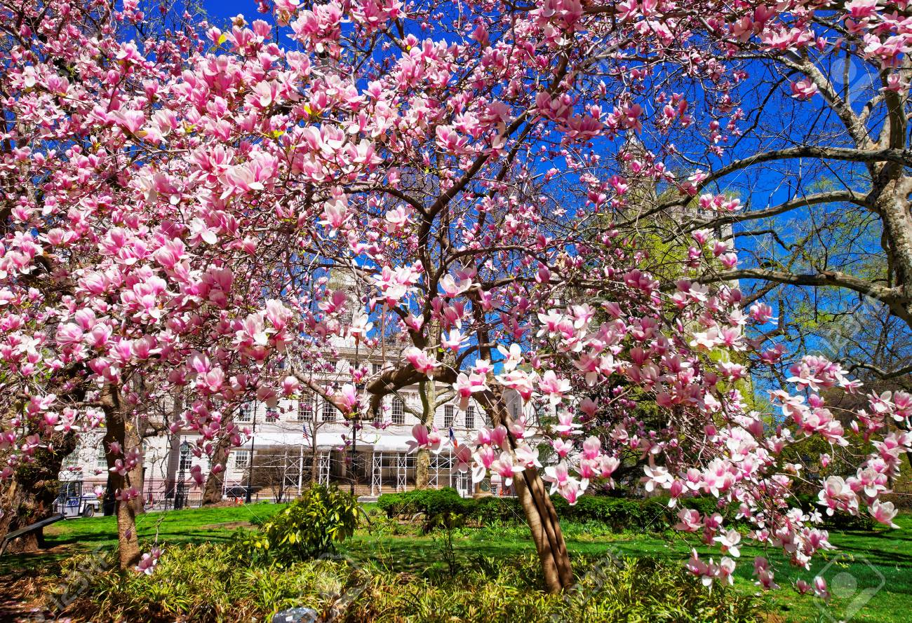 Magnolia Tree Blooming In City Hall Park In Lower Manhattan Stock