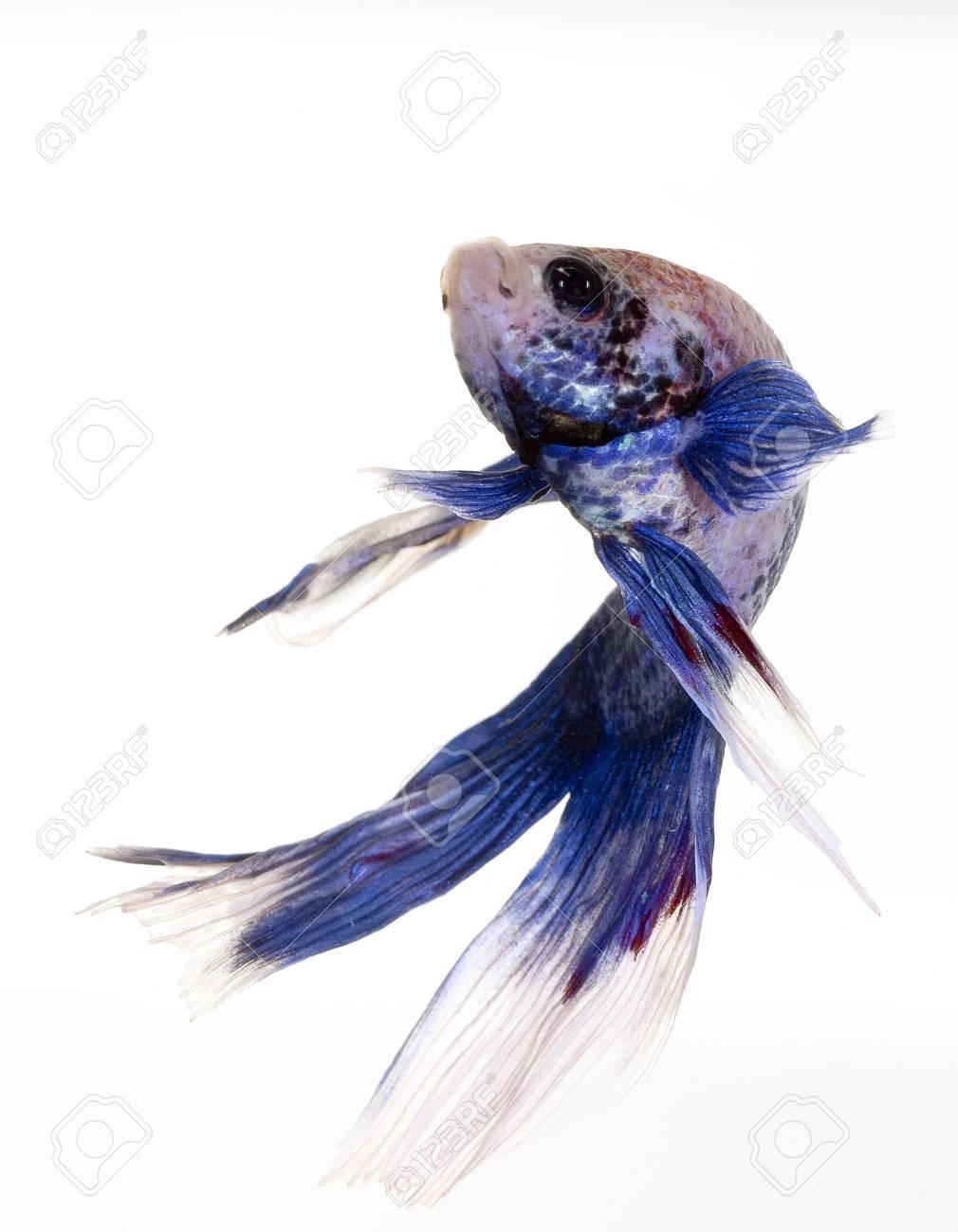 a great asian fish in a tropical aquarium Stock Photo - 3637791