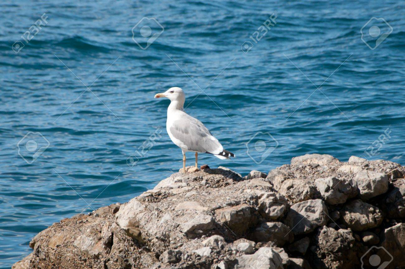 Closeup of one gull perched on rock Stock Photo - 13055859