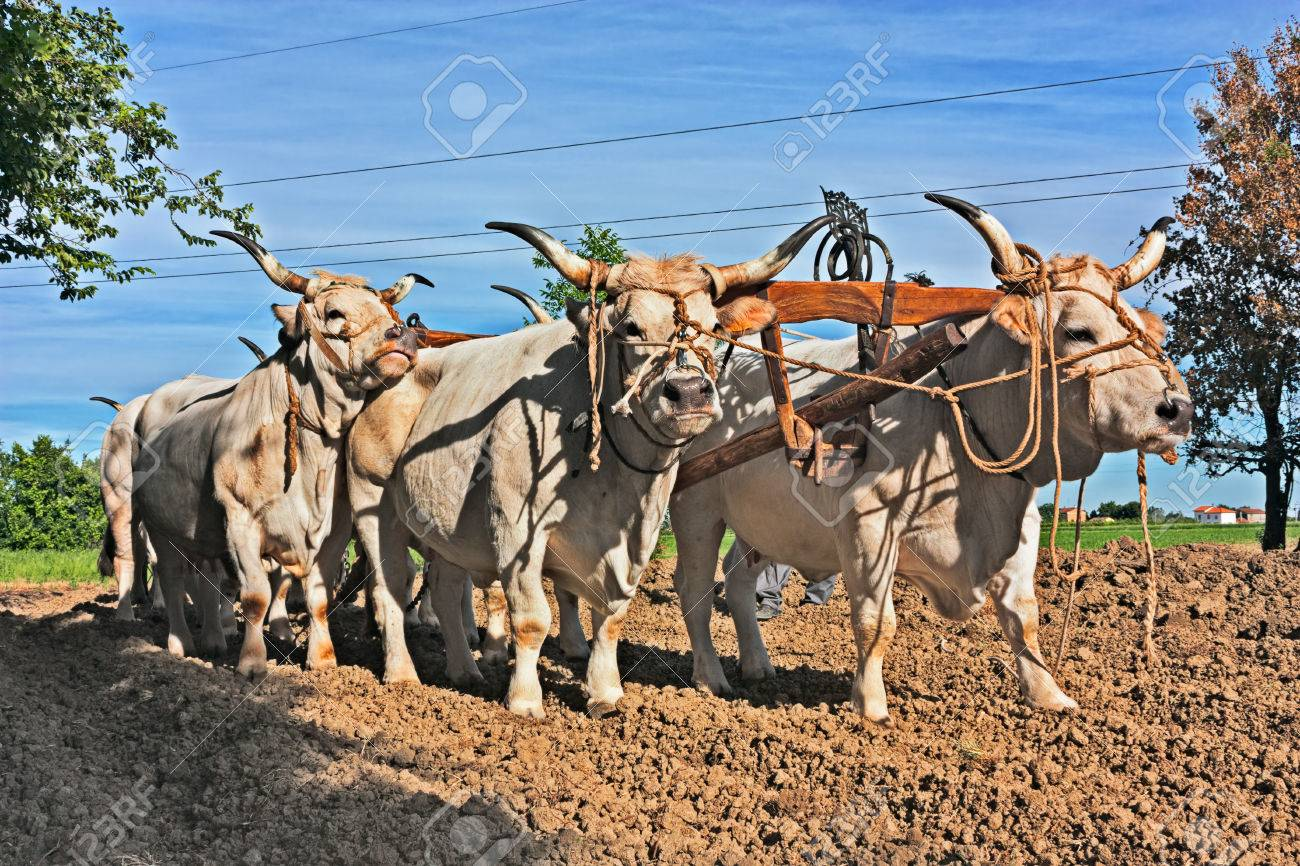 oxen with yoke that pull the plow - old agricultural work with